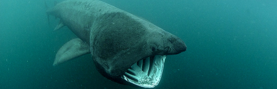 Basking Sharks are regular visitors to the Cornish Coast