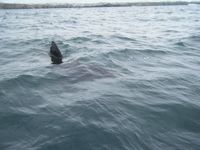7m Basking Shark with Dorsal Fin nik..Copyright Colin Linne