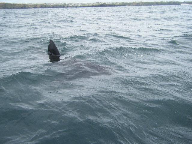 7m Basking Shark with Dorsal Fin nik..Copyright Colin Linne