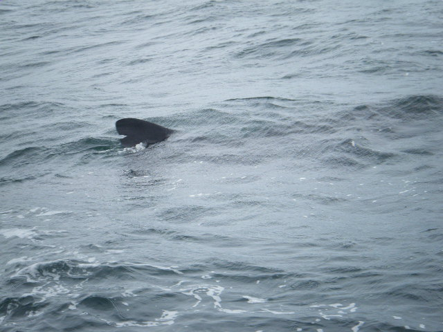 Basking Shark feeding on Zoo Plankton on Reef just outside Newquay Harbour...copyright Colin Linne