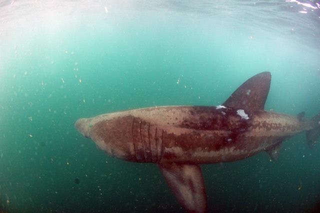 Basking Shark underwater copyright Simon Brown