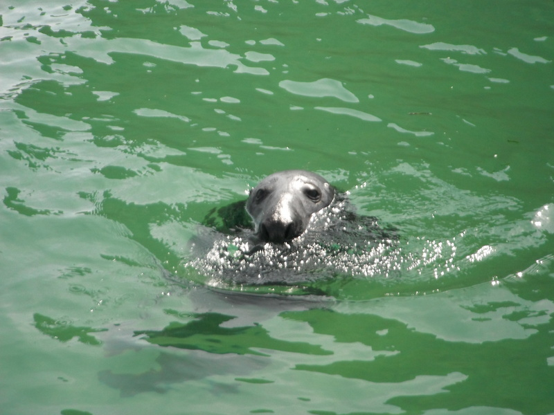 "Male seal watching"" Atlantic Diver"" in Newquay Harbour"