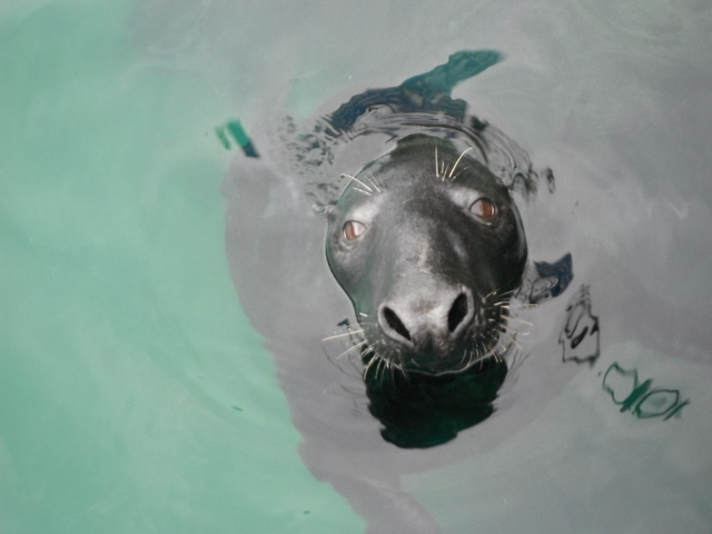 Big Bull Seal in Newquay Harbour Yesterday