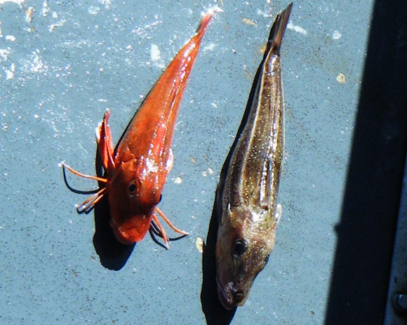 Red Gurnard on left caught on newquay sea safaris and fishing trip