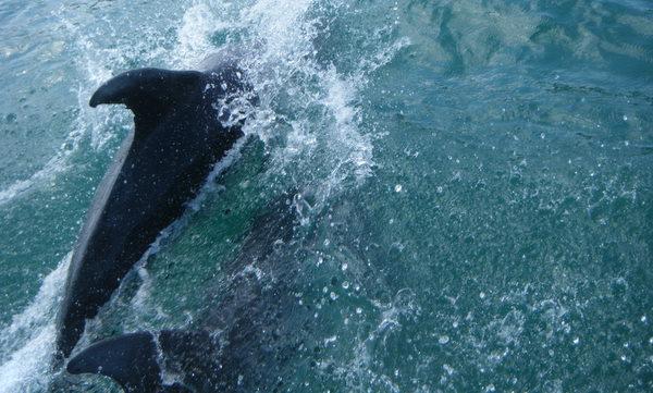 Huge playful Bottlenose Dolphins
