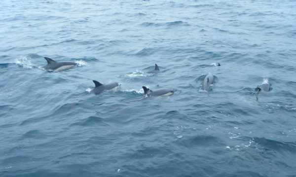 Pod of Common Dolphins circling Atlantic Diver