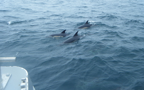 beautiful Common Dolphins