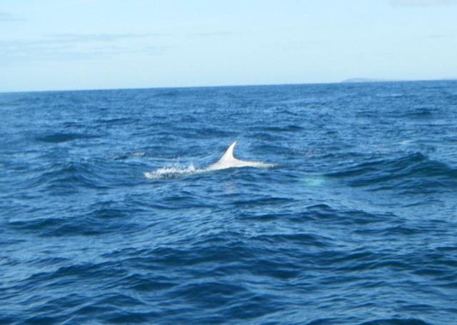 pale falcate fin of Risso's Dolphin