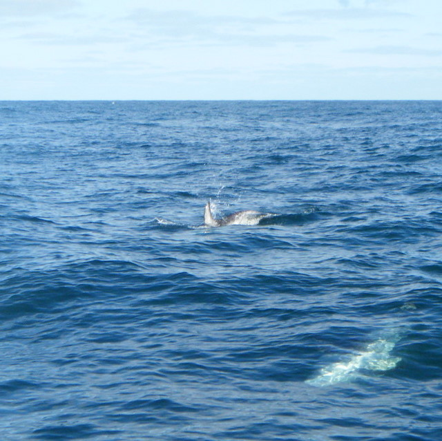 Risso's Dolphin typically swim in pairs