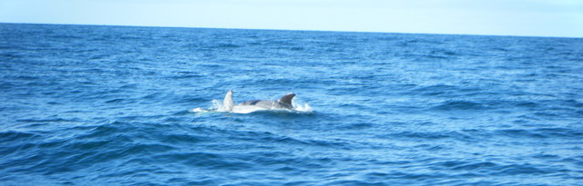 Beautiful Risso's Dolphins swim past Atlantic Diver