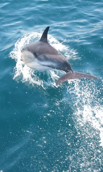 Dolphin leaping infront of Atlantic Diver