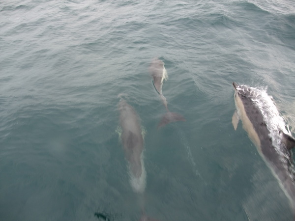 Juvenile Common Dolphin