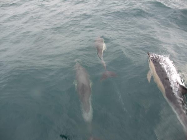 Juvenile Common Dolphin