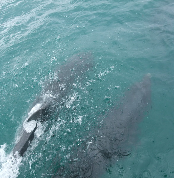 Bottlenose Dolphins playing with Atlantic Diver