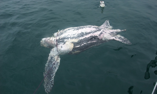dead enormous upsidedown Leatherback Turtle after 9 days at sea