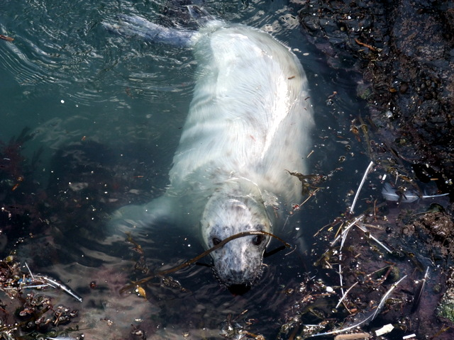 White Coat Grey Seal Pup in Newquay