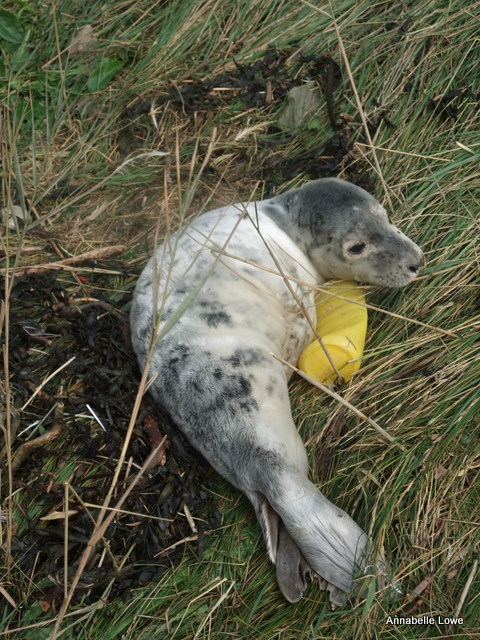 """Indus"" a White Coat Semi Moultie Grey Seal Pup"