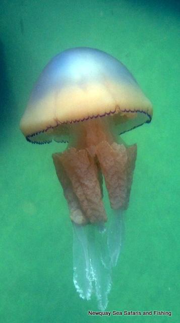 Large Bell of Barrel Jellyfish, filmed off Atlantic Diver