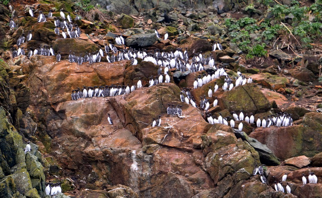 Guillemots returning to ledges ready for breeding