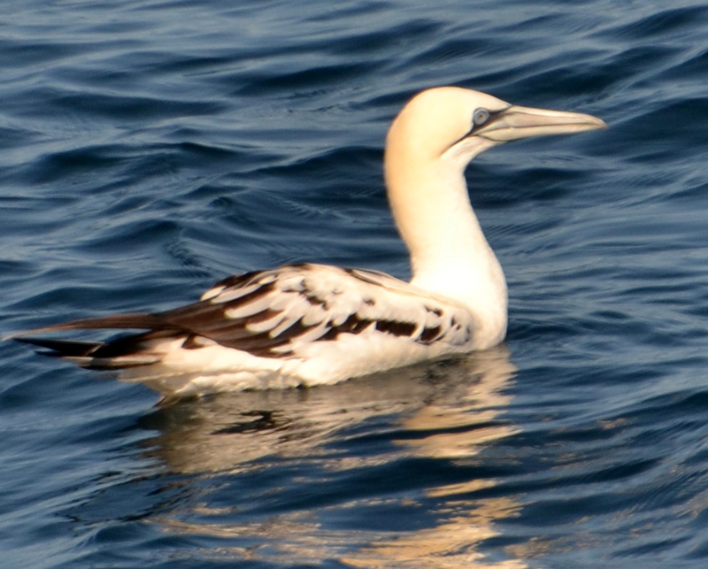Beautiful Juvenile Gannet seen off Newquay