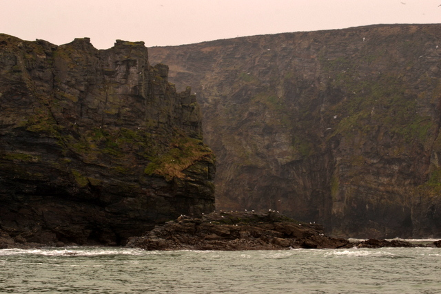 Sea Birds nesting amongst North Cornwall's Rugged Cliffs
