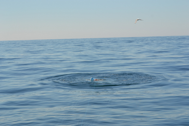 2.5m Blue Shark tearing at Rubbie Dubbie just beneath the surface of the water