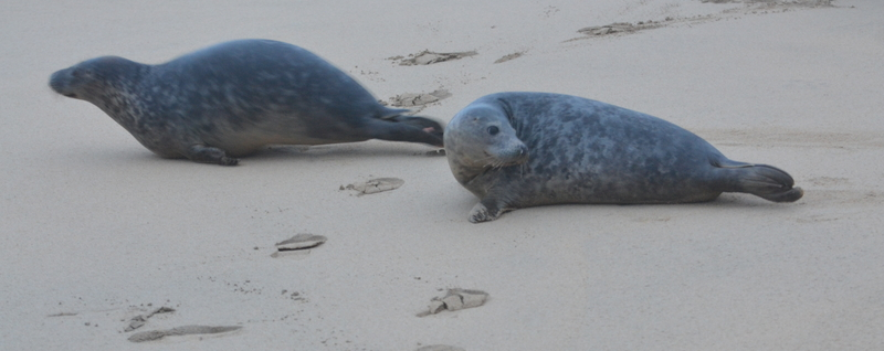 Seal Pups Rush to the Sea