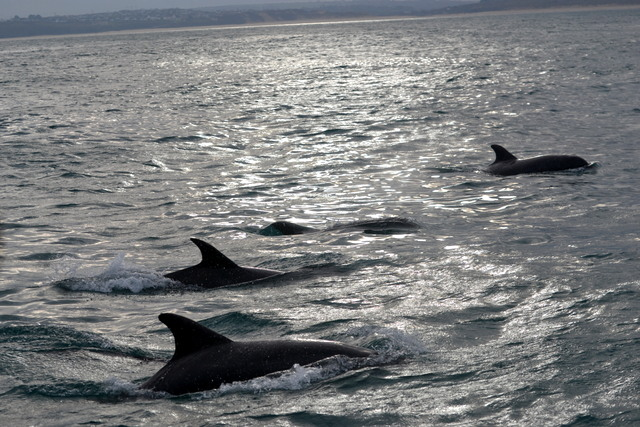 """Bottlenose Dolphins an awesome spot off """"Atlantic Diver"""" on today's seal survey"""