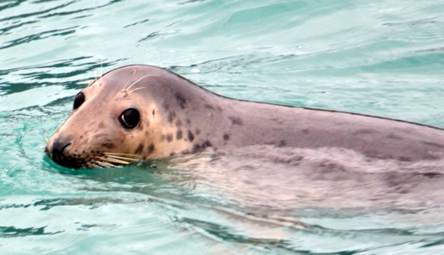 """Cover Girl"" Grey Seal spotted during Padstow Sea Safari"