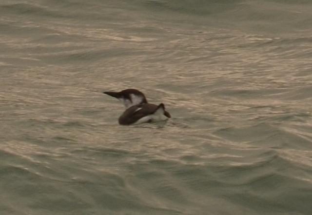 Breeding Sea Bird...Guillemot Sitting in rafts on the sea