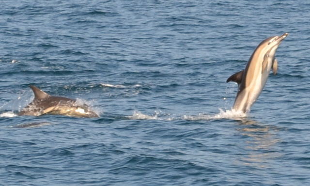 """Common Dolphin Tail Walking ...""""Flipper Style"""" during Atlantic Diving Boat Trip off Newquay"""