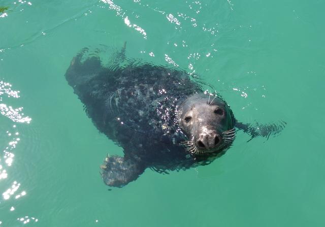 Dr Who Newquay Grey Seal looking at Atlantic Diver