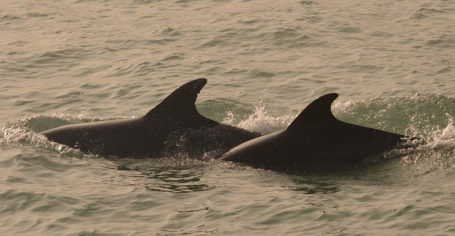Bottlenose Dolphins in Newquay