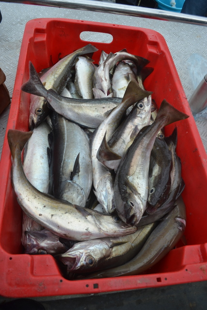 "Bumper box of fish caught with Newquay Sea safaris and Fishing from aboard ""Atlantic Diver"""