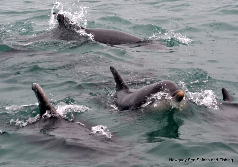 Bottlenose Dolphins off Newquay Headland Autumn 2014