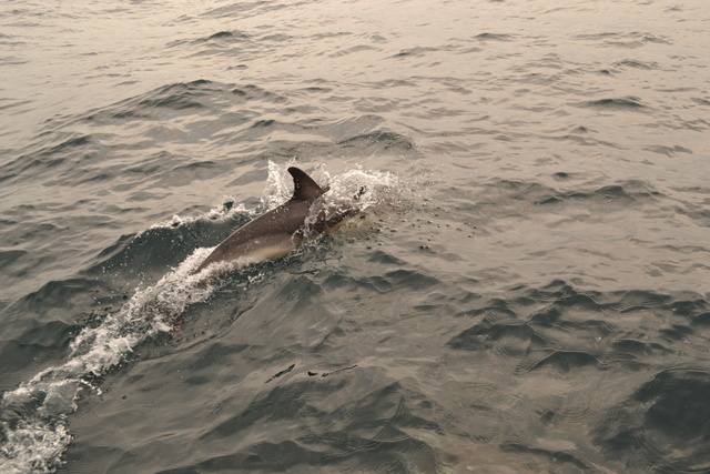 """Common Dolphin arrives on starboard side of """"Atlantic Diver"""""""