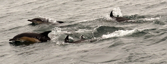 Common Dolphins hunting off newquay during diving trip