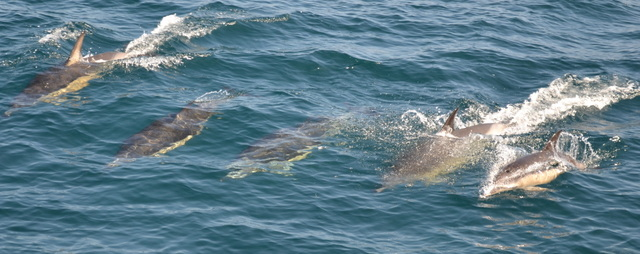 """A few Dolphins swam across to """"Atlantic Diver"""""""