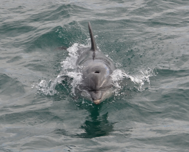 "Beautiful bottlenose Dolphin plays with ""Atlantic Diver"" in Newquay"