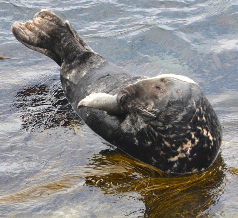 Semi Resident Newquay Grey Seal