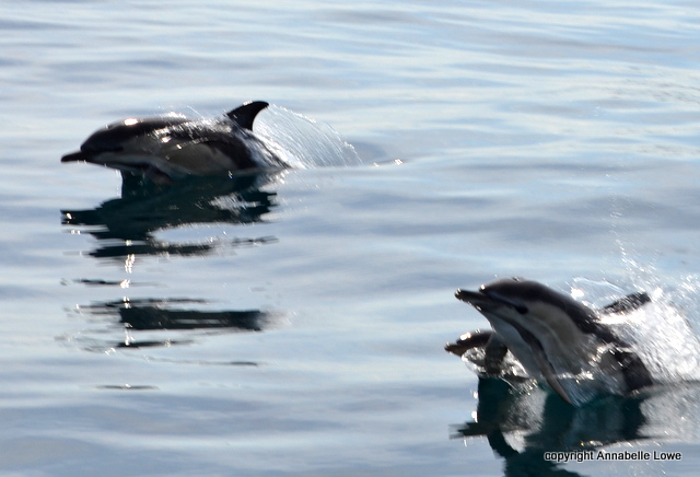 Common Dolphins porpoise towards the Atlantic Diver