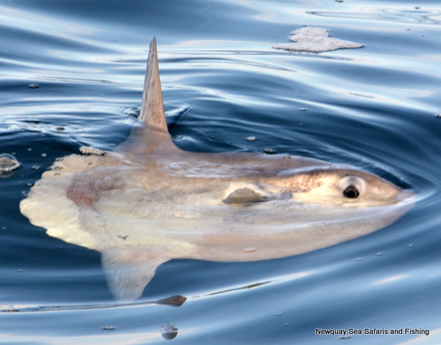 Sunfish spotted from on board Atlantic Diver