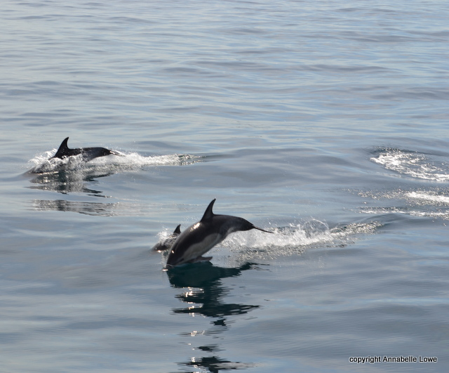 Common Dolphins in glassy seas off Padstow from on board Atlantic Diver