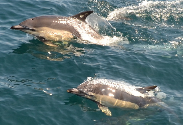 """Common Dolphins spotted from onboard """"Atlantic Diver"""""""