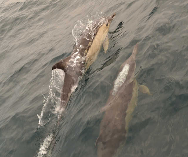 Dolphins off Newquay Hunting in small groups