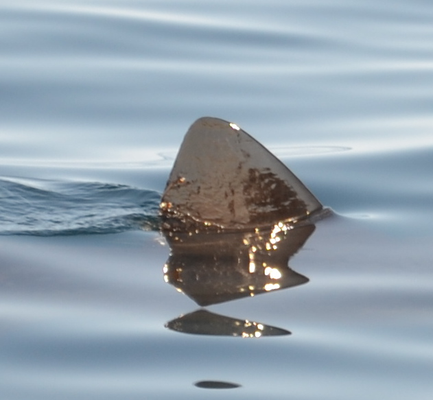 Dorsal Fin pic ideal for Photo ID