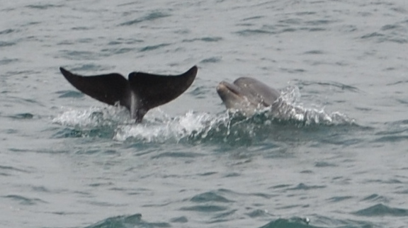 "Dolphins with "" Atlantic Diver"" in Newquay porpoising out of the sea"