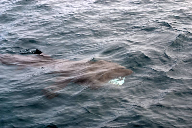 Basking Shark spotted during Tagging program with Atlantic Diver and Exeter university
