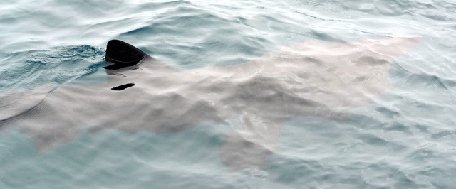 Basking Shark filter feeding mouth wide open