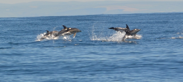 "Common Dolphins Porpoise past""Atlantic Diver"" at great speed"